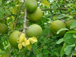 Bael fruit is one component of the Padma Basic Herbal Blend.