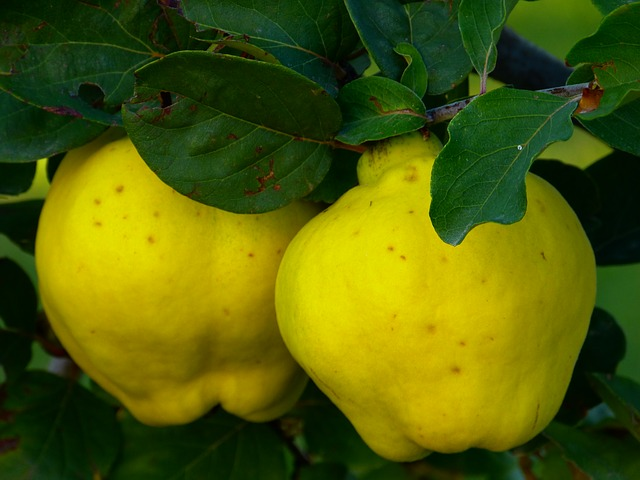 The forbidden fruit quince offers several incredible health