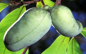The Paw Paw Fruit (and Bark) offer incredible health benefits. Click the picture for more info.