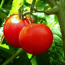 Forgetten Studies Show Organic Tomatoes Offer More Health Benefits than Conventional