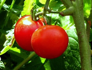 Two studies on organic tomatoes showed surprising benefits.