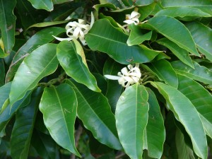 Leaves and flowers of the magnolia tree, which contains the Honokiol extract that studies say can help with anxiety.