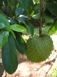 Organic Graviola, which grows in the Amazon Rainforest.