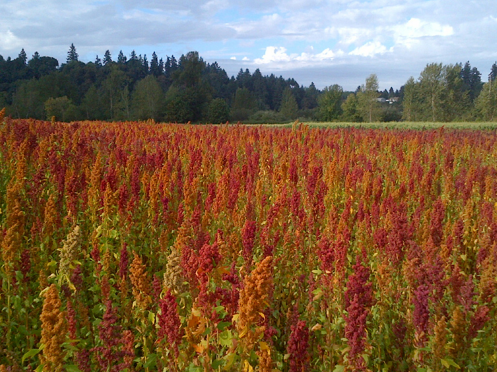A beautiful field of specialty varieties of quinoa growing in Oregon. Photos courtesy of Marion-Polk Food Share