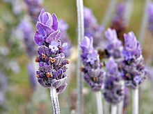 Lavender has a ton of medicinal uses.