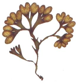 A drawing of fucus aka bladderwack, a mineral-rich ocean plant.