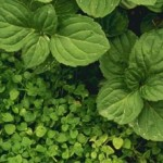 The herb peppermint can help increase VO2 max.