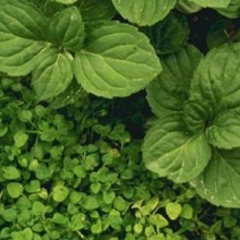 Increase Your VO2 Max Naturally with the Popular Herb Peppermint