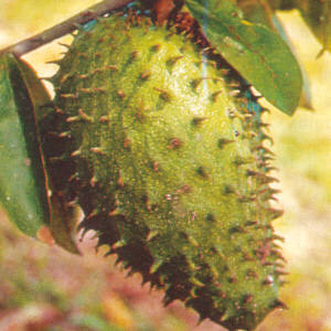 The soursop fruit is considered to be strong against cancer but the graviola tree extract is even stronger according to a 1997 Purdue study.
