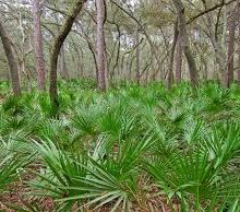 The Health Benefits of Saw Palmetto (Great for Men's Hair Loss, Impotence Problems and More)