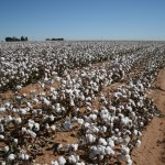 Monsanto's GMO cotton is not faring well in Texas.