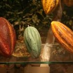 The three main types of cacao beans.