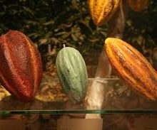 The Three Main Varieties of Cacao Beans