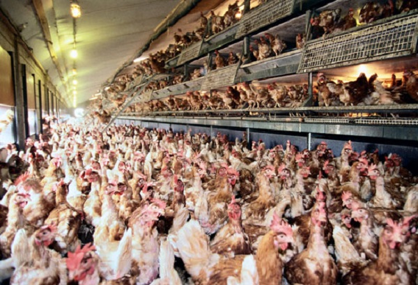 "What does ""cage-free"" really mean, anyway?"