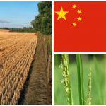 China has ended new GM crop development.