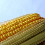 Organic corn is easily contaminated by GMO crops.