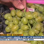 Cotton candy grapes are becoming popular in California.