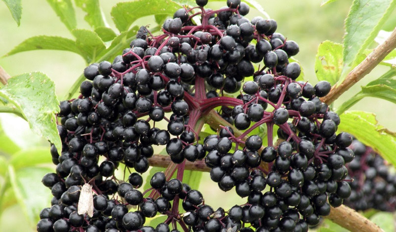 Elderberry syrup is one of the best natural flu treatments on the market.