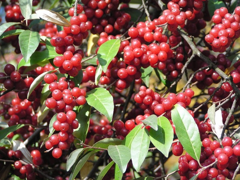 Autumn berries, aka autumn olives, contain 18 times more lycopene than tomatoes.
