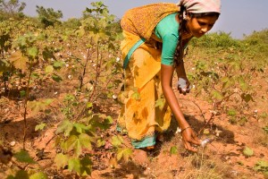 Indian cotton farmers have long struggled for myriad reasons, but pesticide resistance seems to have become a common trend.