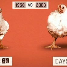 6 Horrifying Facts about Chickens: A Wake-Up Call for the Meat Industry