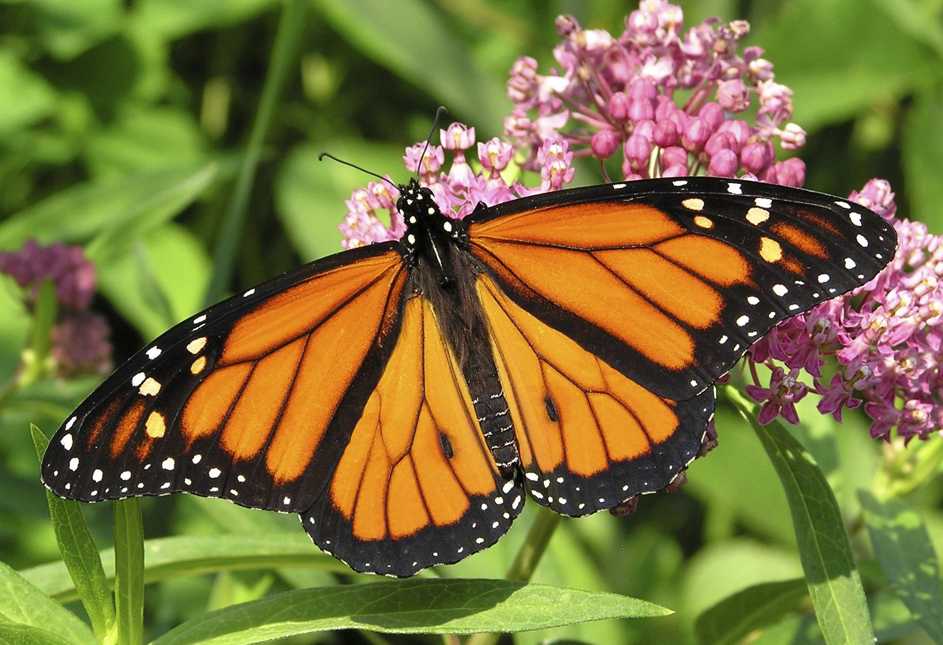 monarch butterfly monsanto