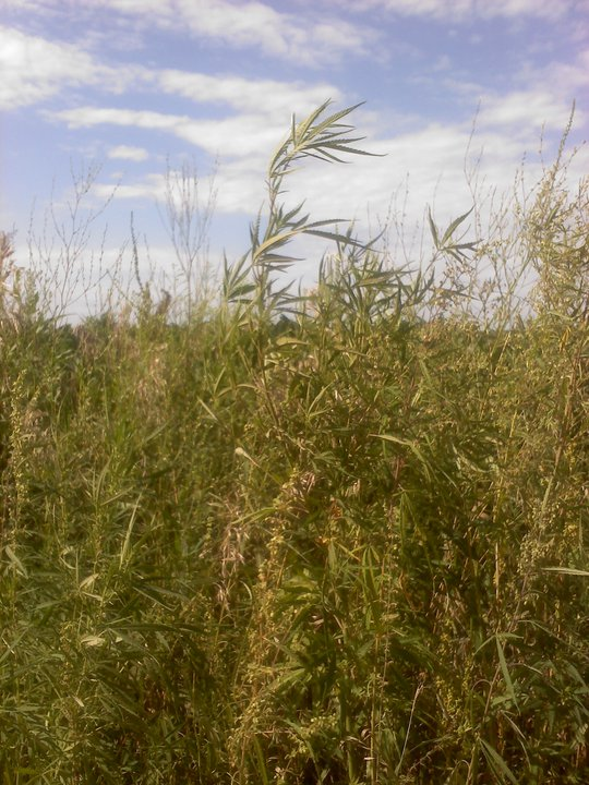 Wild Hemp Grows Everywhere in This U.S. State (Photos ...