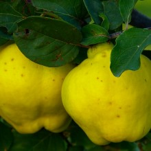 "The ""Forbidden Fruit"" Quince Offers Several Incredible Health Benefits"