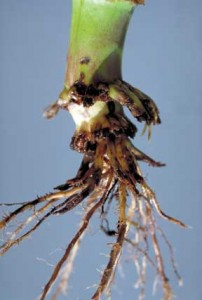 Damage from a corn rootworm. Picture from iastate.edu.