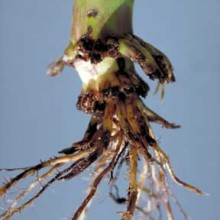 "Nature Fights Back: New Report Says Corn Rootworms Destroying ""Pest-Resistant GMO Corn"""