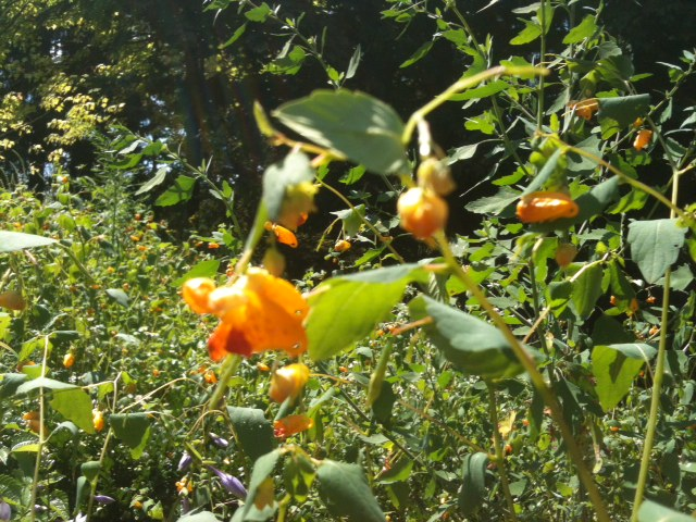Jewel weed helps to heal poison ivy and other sources of skin irritation. Click the picture for more info.