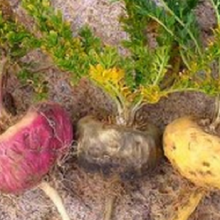 Did You Know There Are 3 Types of Maca Each With Different Health Benefits!