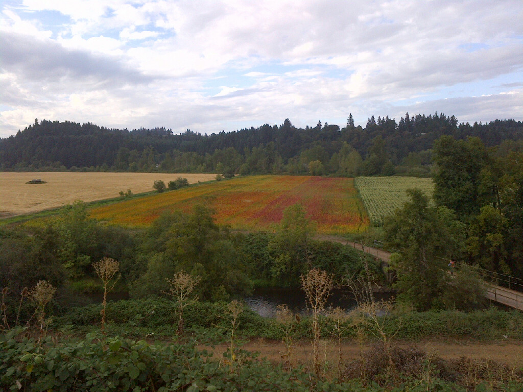 An overview of the food share's quinoa field.