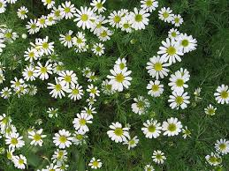 Roman Chamomile flowers; the oil is part of this homeopathic remedy for chickenpox.