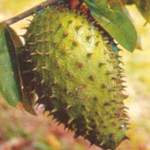 The Truth About Soursop Fruit and Anti-Cancer Studies (and Why Graviola Tree Extracts are Actually Stronger)