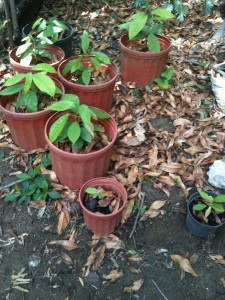 Cacao plants in their beginning stages, in Henrik's backyard.