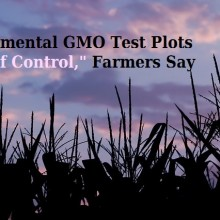 "Current System for Experimental GMO Test Plots ""Seems to Be Anarchy,"" Organic Growers' Org. President Says"