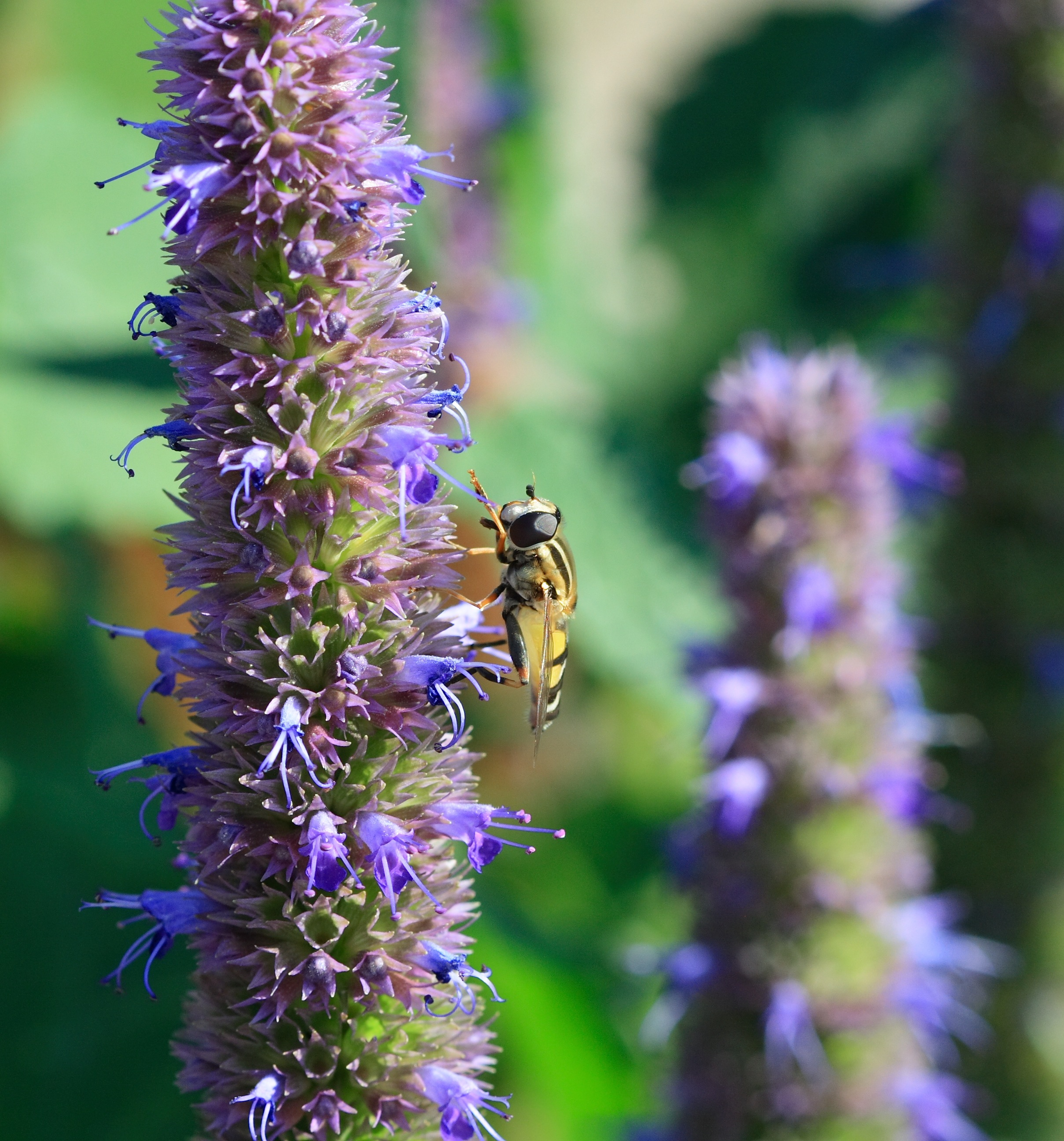 Anise hyssop is a member of the genus Agastache.