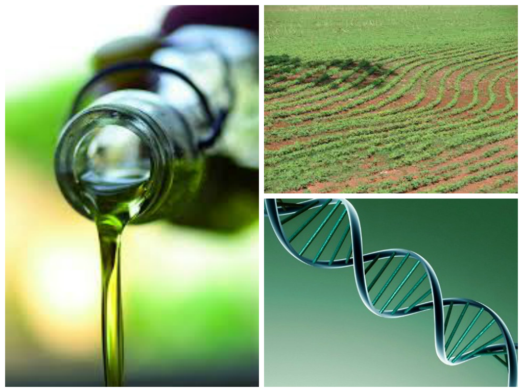 DNA olive oil gmo collage