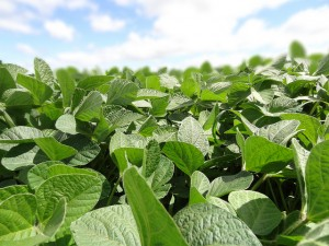 More Michigan farmers are seeking out non-GMO soybeans.