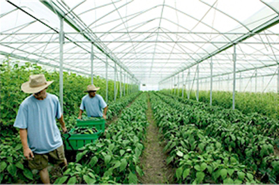 "Farmers work at the city's official ""beyond organic"" greenhouse in nearby Fairfield."