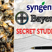 """""""Secret Studies:"""" World's Top 2 Pesticide Companies Knew About Harm to Bees, Did Nothing According to Greenpeace Investigation"""