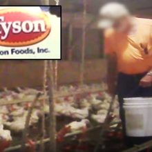 """You didn't see that"" — Hidden Camera Exposes Horrible Secret of McDonald's and Tyson's Chicken Farming (video)"