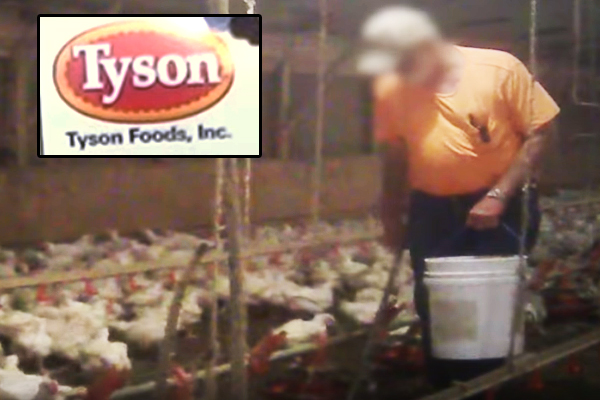 video-mcdonalds-chickens-mistreatment