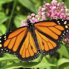 Nearly One-Third of the Iconic Monarch Butterfly Population Has Died in the Last Year (A Shocking 80 Percent Decline Since the 1990s)