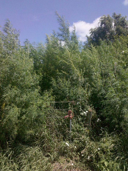 Hemp growing in the natural world