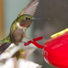 New Study Finds That Bee-Killing Neonicotinoid Pesticides Are Harming Hummingbirds Too