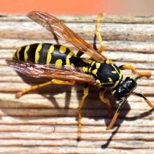 Wasp Venom Targets Tumors and and Obliterates Cancer Cells in Seconds, Study Finds
