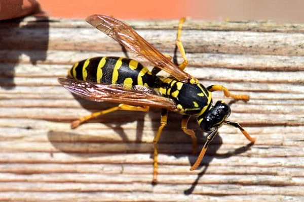 wasp venom cures cancer