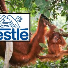 Suspended! Nestlé Reprimanded by Sustainable Palm Oil Group, Can No Longer Include Claim on Its Products